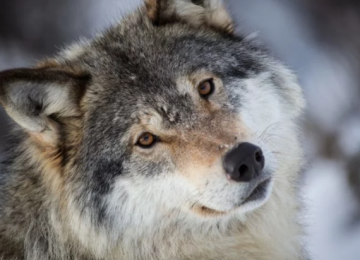 Роковая встреча с волком