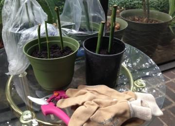 Как сохранить черенки роз до весны