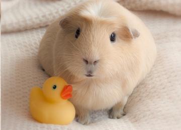 Развеиваем мифы о морских свинках или почему стоит завести этого питомца?