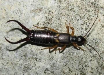Двухвостка: что это за насекомое, как избавиться