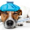 Пироплазмоз у собак. Опасны ли клещи для животных?