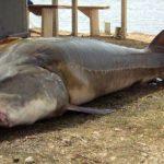 Белуга – самая большая пресноводная рыба в мире